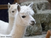 alpaca-4